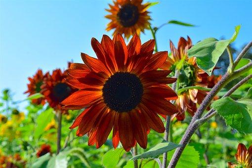 Sunflower, Orange, Nature, Summer Garden, Flower, Plant