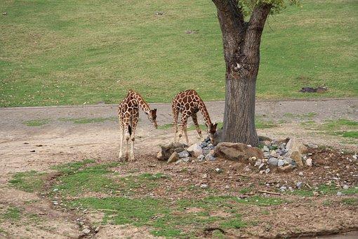 San, Diego, Wildlife, Giraffe