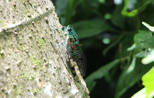 Cicada, Insect, Green, According To, Costa Rica