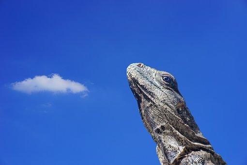 Iguana, Lizard, Scale, Reptile, Animal, Animal World