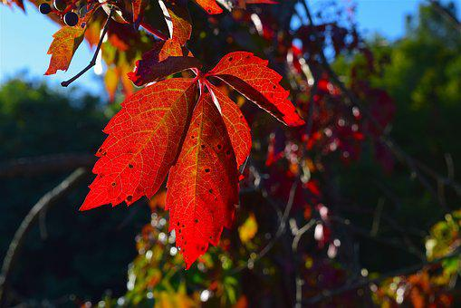 Leaf, Red, Autumn, Season, Light, Fall, Nature, Bright
