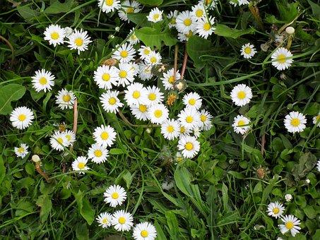 Daisy, Meadow, Rush, Grass