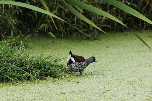 Ave, Exotic Bird, Wetland, Nature, Bird, Green, Fauna