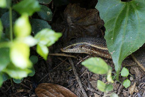 Lizard, Hiding, Wildlife, Reptile, Animal, Nature, Wild