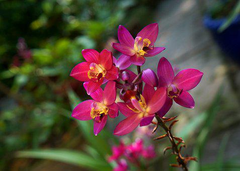 Orchids, Purple Orchid Pink, Bunches Of Orchids