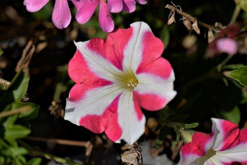 Surfinien, Petunia, Close, Flowers, Blossom, Bloom