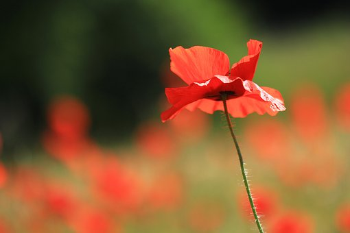 Flower, Poppy, Red, Nature, Wild Flower, Wild Flowers
