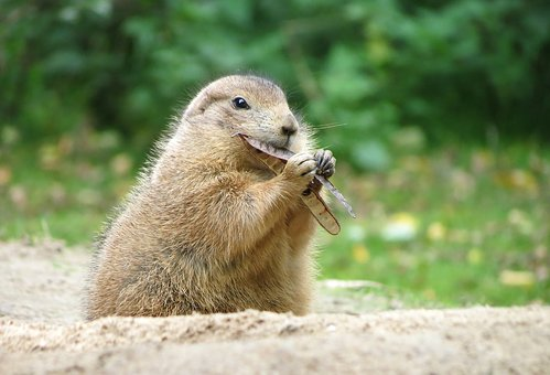 Prairie Dog, Wildlife Park, Rodents, Herbivores, Fur