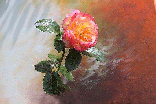 Rose, Flower Plant, Garden Plant, Rose Bloom, Flower