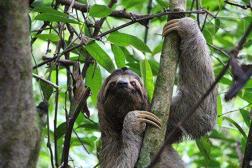 Sloth, Three Finger Sloth, Jungle, Costa Rica