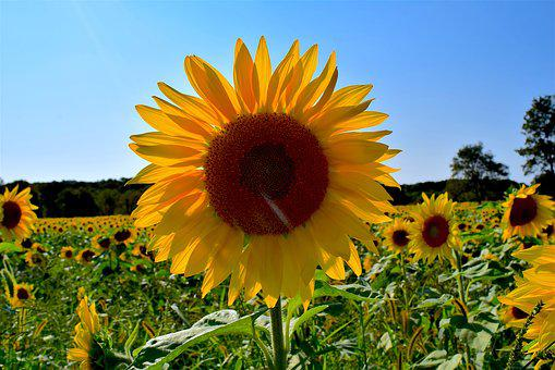 Sunflower, Yellow, Field, Nature, Summer, Garden