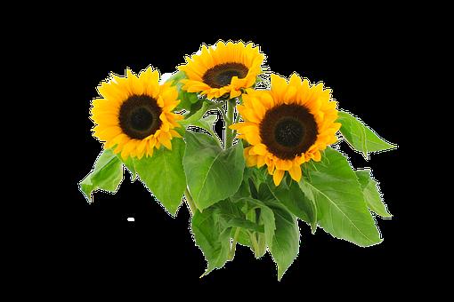 Sun Flower, Autumn, Still Life, Yellow, Flower, Green