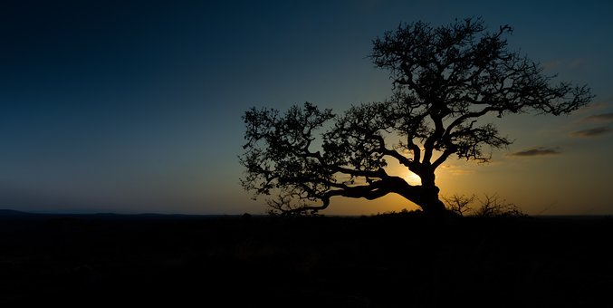 Wild Fig, Sunset, Africa, Nature, Tree, Landscape