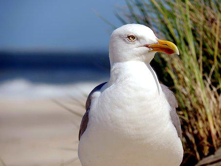 Seagull, Herring Gull, Water Bird, Animal, North Sea