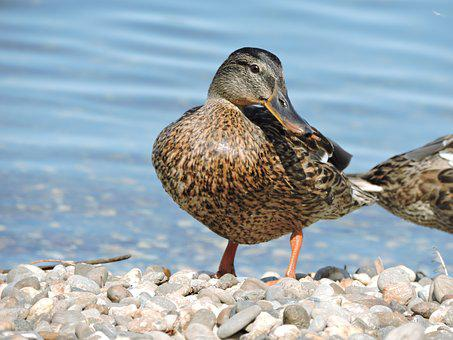 Lake Constance, Duck, Water, Lake, Water Bird, Feather