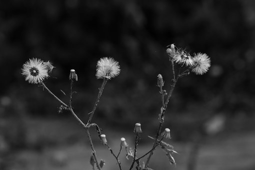 Dandelion, Nature, Wild Flower, Autumn, Fall