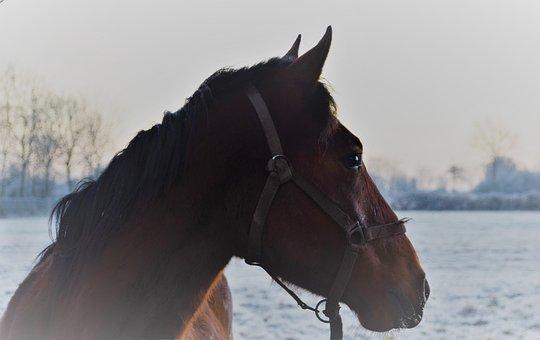 Horses, Winter, Normandy, Field
