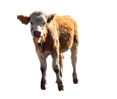 Animal, Calf, Agriculture, Young Calf, Cattle