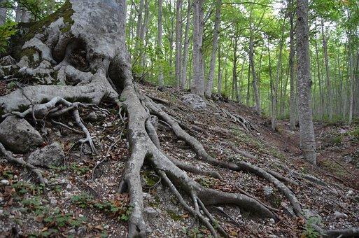 Root, Beech, Beech Wood, Underwood, Forest, Trees