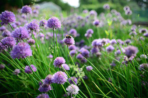 Spring, Chives, Bees, Bumble Bee, Food, Green, Plant