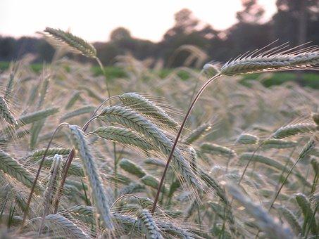 Cereals, Grain, Field, Spike, Field Crops