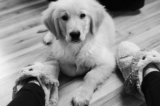 Golden, Golden Retriever, Futrzak, Doggy, Shut Up, Dog