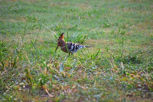 Hoopoe Bird, Douchiphat, Bird, Crown Of Feathers