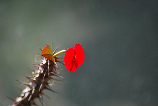Flower, Red Flower, Red, Cactus, Plant, Thorns