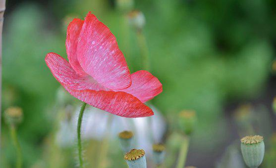 Poppy, Flower, Natur, Spring, Floral, Summer, Natural