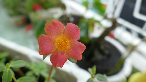 Portulaca Grandiflora, Flower, Vietnam, Nature, Color