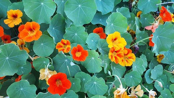 Nastartium, Green, Flower, Background, Nature, Floral