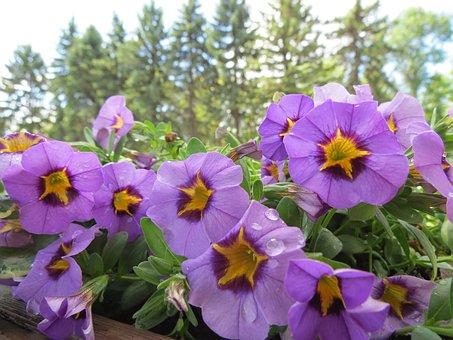 Petunias, Violet, Blossom, Macro, Flowers, Summer