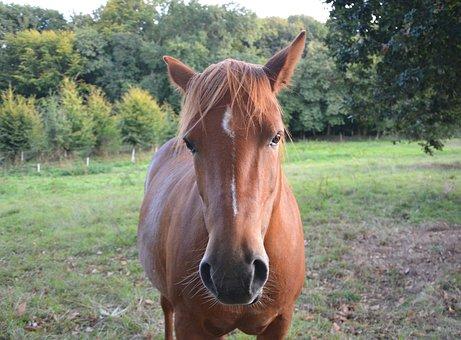 Horse, Broodmare, Mare, Head Portrait In Nature, Pre