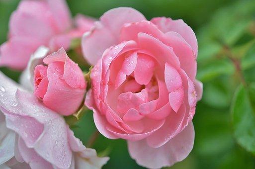 Rose, Flower, Natur, Spring, Floral, Summer, Natural