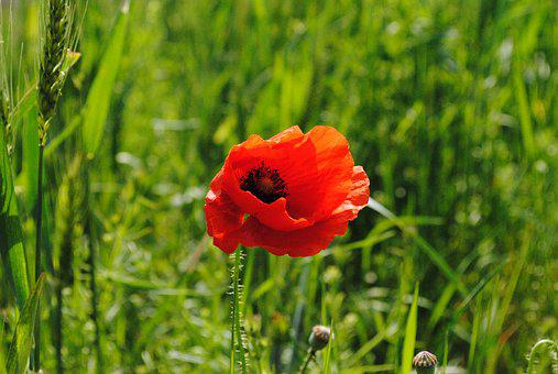 Poppy, Red, Green, Flower, Spring, Plant, Bloom, Color