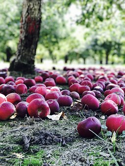 Orchard, Apples, Red, Nature, Power, Fruit Tree