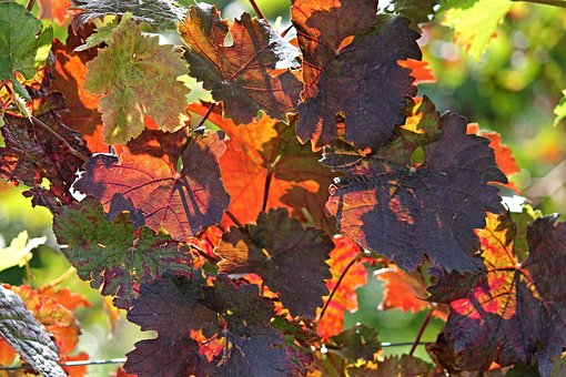 Vine, Autumn, Colorful, Colored, Red, Green, Emerge