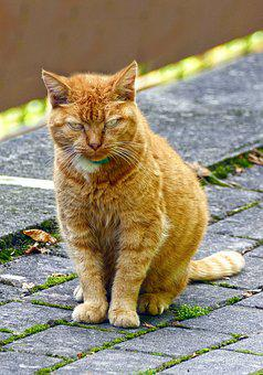 Cat, Pet, Red Mackerel Tabby, Red Cat, Felidae, Mammal