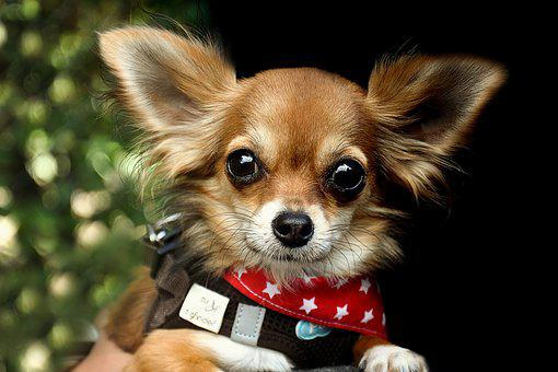 Chihuahua, Dog, Race, Animals, Cute, Pets, Small
