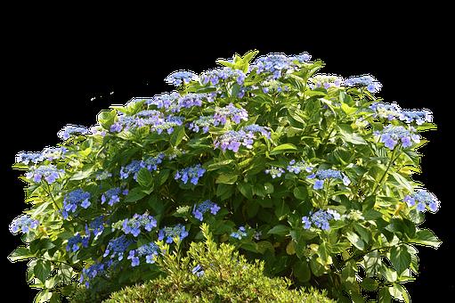 Hydrangeas, Hydrangea Bush, Bush, Nature, Spring, Flora