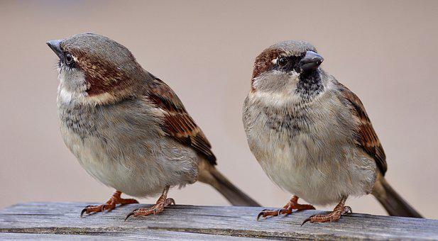 Sparrows, Two, Birds, Pair, Plumage, Bill, Animal World