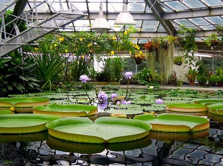 Water Lily, Victoria, Amazon, Water, Lily, Water Plants