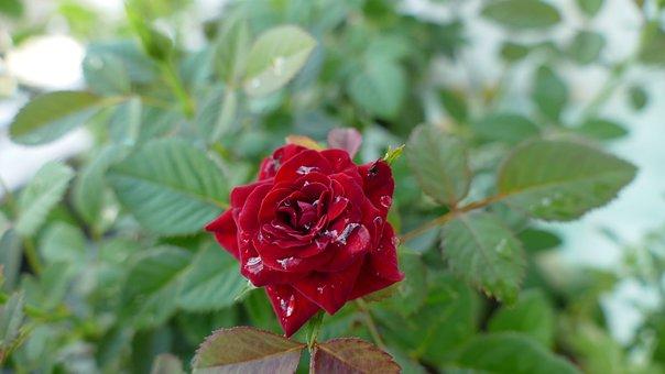 Flower, Rose, Vietnam, Nature, Color, Red, Floral