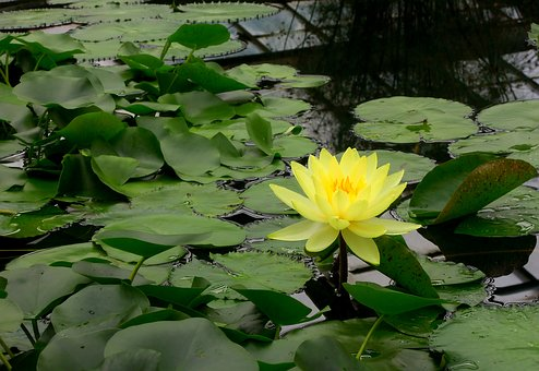 Water, Lily, Water Plants, Flower, Water Lily