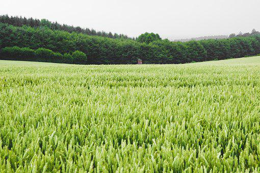 Field, Rye, Wheat, Green, Nature, Grain, Agriculture