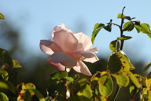 Wild Rose, Rose, Blossom, Bloom, Flower, Rose Blooms