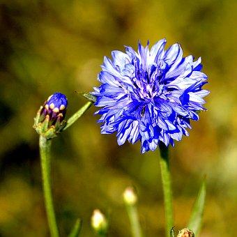 Cornflower, Blossom, Bloom, Flora, Blue, Flower, Summer