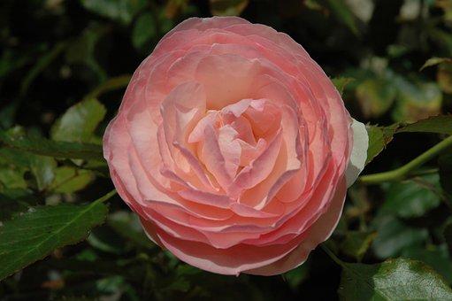 Rose, Blossom, Bloom, Flower, Rose Blooms, Close, Pink