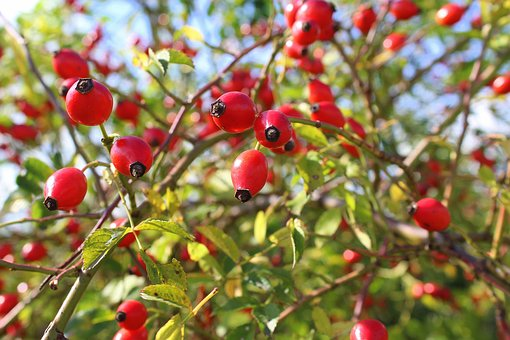Bush, Wild Rose, Rose Hips, Red, Sprig, Nature, Autumn