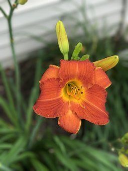 Day Lily, Red Orange Flower, Natural, Daylily